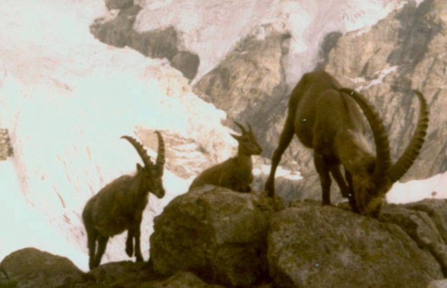 Ibex on ascent of the Wetterhorn